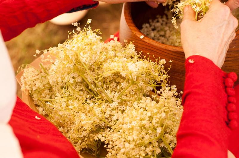 Abzupfen der Holunderblüten